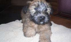 Ready to go,Wheaten Terrier puppies.  Males & females available.  Tails docked, vet checked and first shots.  These are non-shedding dogs, easy to train, friendly, great with children and love attention.   Puppies can be delivered to Lloydminster or flown