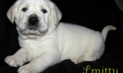 We have White English Labrador Retriever Puppies!  8 Boys, 3 Girls.  Well bread, adorable and so sweet! A White Lab is the lightest of the Yellow Labs. English Labs are gentle, calm, with a stalky stature. Labs have an excellent temperment and are great