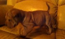 One male and one female fawn colored, chubby with wrinkled puppies for sale. Both are home bred (not from a puppy mill), love children, playful and compatible with other cats and dogs. Both love to play with one another and I will offer a discount if both
