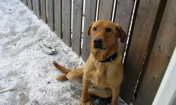 yellow male lab for sale.7 months old.good natured,sleeps in a kennel at night.  just too much energy for the kids.