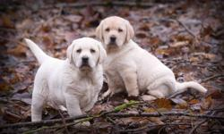 Yellow Lab Pups -- White in color.  Mom and Dad here. First shots and Vet check included , etc. Smaller sized (English) Lab puppy, Not ckc, Born November 6-2011..... Ready Now 700.00 to approved Homes. Call Rob @ 604-309-9908 for info, or Email.....