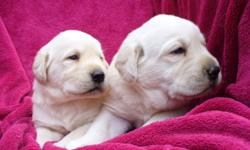 Yellow CKC registered Labrador Retriever puppies.  These puppies have been raised in my home and have had plenty of socialization and people interaction. I own both parents,  Mom and Dad are at my home for viewing.  I have been breeding labs for 6 years