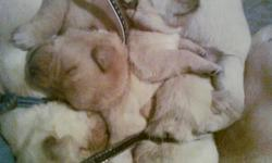 I have beautiful yellow lab puppys for sale, all pups have been dew clawed and vet checked! the pups will also be going on january 20th for 1st shots and deworming! We have 3 felmales and 7 males remaining that need good homes! Puppys are ready to leave