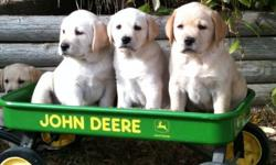 GORGEOUS , HEALTHY, FAMILY RAISED YELLOW LAB PUPS,  READY FOR  NEW HOMES OCTOBER 23rd.  HAVE BEEN DE-WORMED AND  HAVE 1ST SHOTS ALREADY PAPER TRAINED, VERY WELL SOCIALIZED, 2 MALES, 4 FEMALES LEFT CHECK OUT DADDY'S WEBSITE ON : www.dudley-dog.com PHONE: