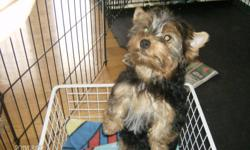 YORKIE PUPPIES 3 PUPPIES -2 FEMALES - 1250.00 - BOTH SOLD                     1-MALE- 750.00                     BORN AUG 30-2011                     parents CKC registered One cute-cudley-playful - yorkie puppy ready to find his new home raised in a