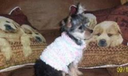 .ExternalClass .ecxhmmessage P {padding:0px;} .ExternalClass body.ecxhmmessage {font-size:10pt;font-family:Tahoma;} Two adorable little yorkies one girl one boy  both healthy happy little yorkies both have been vet checked first shots dewormed both