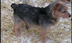 Two loving female, not spay, need homes.  Dad is Yorkshire Terrier  Mom is Toy Fox Terrier.  Both girls are very out going. Have had 2 vaccinations and dewormings. Good with other dogs, cats and children.