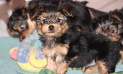 SNUGGLY YORKIE PUPS!!   HE IS THE PUP IN THE LAST PICTURE. MOM IS THE ONE IN THE SECOUND LAST PICTURE. LAST 2 PICTURES WERE TAKEN NOVEMBER 9.     ONE LITTLE MALE LEFT TO FIND HIS NEW HOME.  I WOULD REALLY LOVE TO FIND HIM A HOME.  I KNOW IF YOU SEE HIM,