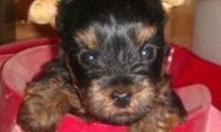 One baby boy left!! He was sold and was first pick and smallest of the litter but  because of new owners health issues she can not buy him. Cute and cuddly pure bred registered Yorkies home raised 20 years experience breeding,  Micro chipped , tails