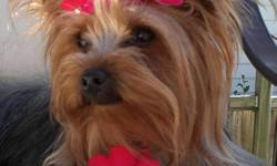 Cute and cuddly pure bred registered Yorkies home raised and loved ready just in time for Christmas break. Micro chipped , tails docked, first shots, dew claws removed and 6 wk health insurance. $300.00 deposit will hold for christmas which includes puppy