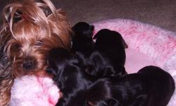 Four MALE Yorkshire-terriers bred for amazing beauty, temperament, intelligence, health and quality. This is a low maintenance companion breed that is extremely adaptable to people of all ages and varying lifestyles. Yorkies make outstanding companion and
