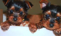 Yorkie Puppies - 1 females and 1 male left. 1st needle, health check & microchipped. Mom is 5.5 lbs. Dad is 4.5 lbs. 1st picture is from a previous litter, 2nd picture is Mom and 3rd is Dad - 5th & 6th pictures are from previous litters. Pups will be