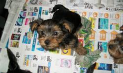 I have five cute little Yorkie puppies that are ready to go on October the 1st. They are all boys and have had their first shots, de-worming and general health check-up done by my vet. The mother is about 8lbs and the father around 7lbs. All are very