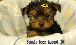 Beautiful Yorkie Puppy's For Sale We have 3 beautiful Yorkie puppy's for sale 2 Females and 1 Male They have been vet checked,Dewormed and have had there frist shot  They are Hypoallergenic They will weigh around 4 to 6 pounds The Parents can be seen on