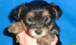 We have 2 beautiful Yorkie X chihuahua puppies looking for forever homes. One female and 1 males. Vet checked, vaccinated and dewormed. Come with a puppy pack, vet certificate and one year guarantee. Kid friendly. We are asking $400.00 for the males and