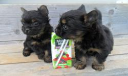This tiny sweeties will be 7 weeks this Monday 26th of Sept. Pictures were taken to show you how tiny they are today Sept.23rd almost 7 weeks old. They will be vet checked and have their first needles and be dewormed. The mother is a Yorkie/Shih-tzu mix