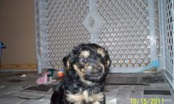 Two beautiful Yorkie baby girls for sale, no papers. Tails docked, dew claws done, their first shots, dewormed, ready for November 1, 2011. E-Mail if your interested