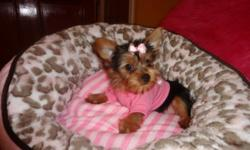 Tiny toy yorkies, ready to go now, hypoallergenic, full and fluffly, non-shedding, vet checked, shots up to date, dewormed, adult sizes 5-7lbs. 416-841-6375 This ad was posted with the Kijiji Classifieds app.