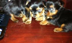 i have 1 female  raised pure Yorkshire  for sale she weights about 4 pounds ,These pups are non-allergenic and non-shedding.They are ready to go... parents are on the side. inbox me  for more details . thanks