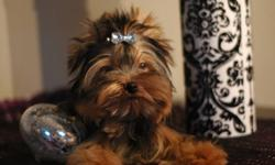 Very handsome, 3 boys to choose from. One is regular size and the other 2 are tea-cups. If your searching for a quality Yorkie, look no further! The grandfather of these 3 musketeers is a champion of Europe. Very impressive pedigree from both parents.