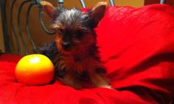 Yorkie LOOKING FOR FOREVER HOME    -Yorkie pups MALE (1) and FEMALE (1) were 4 in the litter ,to be around 2-5lbs FEMALE is much more smaller  -mother 4,5 lbs silver /tan  -father 4,5 lbs silver /tan - silky soft coat - very inteligent - home raised with