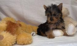 Yorkshire Terrier for sale. male  female, first needle, Vet check up, deworm, 3 month on 7 Fev, ready to go to new home with starter kit. 1 and 2 pict, male 3 and 4 pict, male, 5 and 6 pict, female. Must go for owner health reason...   call for more info