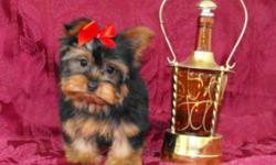 Female Yorkshire Terrier to a pet only home.   She is a very little girl only weighing right now 2 lbs; her mom and dad are both 5lbs Yorkshire Terrier's and this is what she will mature to be as well. She has had two vaccinations (including the