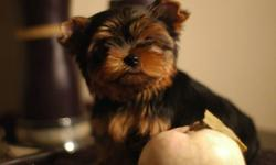Little girl yorkshire terrier, very compact body, short little nose and beautiful thick coat. And her brother, a very handsome boy is also available. Puppies will come with a pedigree, vaccinated, dewormed proper to age with a one year health genetic