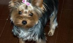 Star Bright Yorkshire Terriers is now taking deposits on our three week old yorkies. These puppies are Top Notch quality! Mom is a beautiful silky 4.5lb AKC registered purebred with fantastic show lines to back her up. Dad is a 5 lb, registered Brazilian