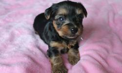Five adorable Yorkie puppies born August 22 ready to go to their new loving homes after October 17. Four little girls and a boy. They are cute, playful, and very smart.   -vet checked -first shots/dewormed   Please call 778-896-4206   *Both parents in 4th