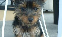 Five adorable purebred Yorky puppies looking for good, caring homes. Two males and three females. The mommy, Kayla, is an affectionate and playful family pet. These puppies do not shed and are great for families concerned about allergies.  Mommy is 7.5