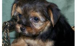 Adorable yorkie puppies! Puppies are purebreed, mother and father are both Yorkshire Terrier. Puppies are all males and will mature to around 6lbs.They have excellant personalities just like their parents. Puppies come with health guarantee, as well as