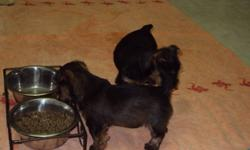 Two female Yorkshire Terrier puppies available right now..... Non-shedding, first shots and vet-checked. Both female.