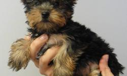 THE PUPPY'S PLACE  GRAND OPENING SPECIAL! ONLY FOR THIS WEEK   we are just 25 min from toronto.   PUREBRED YORKSHIRE TERRIER PUPPIES READY TO GO NOW!   2 FEMALES   THEY COME: VET CHECKED DE WORMED 1 SET OF VACCINES MICRO-CHIPPED FOR MORE INFORMATION