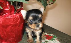 I'm now selling pure bread yorkshire terriers ready to leave now to their forever homes GREAT CHRISTMAS PRESENT!!!!!!!! I have 1 male left and 2 females left for sale. Male is $800.00 females sell for $850.00. Puppies are sold on a no breeding