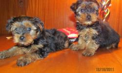 5 beautiful Yorkie pups ,males and females available .They are very friendly and  well socialized . The pups are vaccinated ,dewormed and have been treated with revolution for the prevention of fleas and mites .Dad is in the photos . $750 to $950 Please
