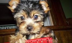 We have 8x little purebred Yorkshire Terrier's, 2 different Litter's. All Sired by our little man, Peanut who is 3lbs. Tails are docked & dew claws done, de wormed, & 1st shots, & with health records. Also included is puppy starter kit & blanket. There's