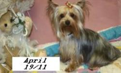 Adult Yorkshire Terriers and Pomeranians available to superior homes, ages range from 2  up /prices vary from $150. to $900 these furkids are CKC Reg'd vet checked,vaccinations to date ,dewormed and groomed, please note* these furkids do live in a house