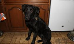Breed: Labrador Retriever Shepherd   Age: Young   Sex: M   Size: L Rave is a 10 month old black lab/ german shepherd mix. He came to us after being hit by a car and taken to animal control. When we took him to the vet for xrays it was found that he had a