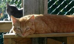 Hi, we are looking for responsible families who are willing to take home beautiful and loving cats/kittens from Kincardine. They have been well looked after and have been neutered/spayed with shots.  We have given them names:  Ginger: Orange male 7
