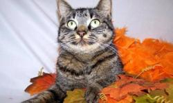 Breed: Tiger   Age: Young   Sex: F   Size: M Please meet Autumn, a gorgeous Tiger cat whose beauty matches her personality! She is beyond friendly and was quite happy to cooperate having her pictures taken as you can see, this girl really knows how to