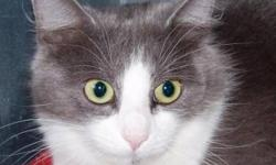 Breed: Domestic Medium Hair - gray and white   Age: Young   Sex: F   Size: M Please meet Miss Hiss! She is a cat who needs a home where she can be shown lots of love every day. She is a little shy and nervous at first but you can tell she wants to love