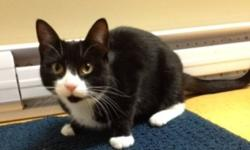 Breed: Domestic Short Hair-black and white   Age: Young   Sex: F   Size: S Bre' 6 Month Old Female Domestic Short Hair Bre' is a young girl with a mind of her own. She enjoys being around people and craves affection, but is not so comfortable being picked