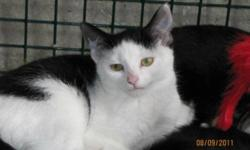 Breed: Domestic Short Hair-black and white   Age: Young   Sex: F   Size: M POSTED FOR A PRIVATE RESCUER (IN LOWER EAST PUBNICO) - Please contact Kelly directly at 902-648-8211 or cb_kelly@hotmail.com! RESCUED WHARF CAT! Daisy is a double pawed gal that