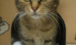 Breed: Domestic Short Hair Domestic Short Hair   Age: Young   Sex: F   Size: M Tawnee is a quiet and loving young girl from Surrey, she was abandoned in a Superstore parking lot with her five kittens. She is very petite & looks like a kitten herself. She