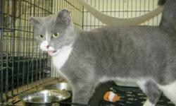 Breed: Domestic Short Hair - gray and white   Age: Young   Sex: F   Size: M Tweetie is a 7 month old kitten who won the hearts of all of us here at the shelter. She is so sweet and playful and talkative. She loves to play with her other shelter friends