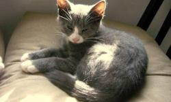 Breed: Domestic Short Hair - gray and white   Age: Young   Sex: F   Size: M Isha was born on June 15, 2011. She is an adorable kitten but requires alot of love and attention to become fully socialized. The adoption fee is $70.00. If you want to adopt two