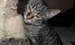 Breed: Tabby   Age: Young   Sex: F   Size: M My name is Minnie, I guess I get that name because I am so petite, I am a short haired tabby with the cutest face ever...I love to be loved...I have the sweetest desposition.   View this pet on Petfinder.com