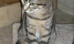 Breed: Tabby - Grey   Age: Young   Sex: F   Size: M Emily was born about May 25th, 2011. She is still a little frightened of people but will be very loving and devoted to someone who can devote a lot of time to her to earn her trust. The adoption fee is