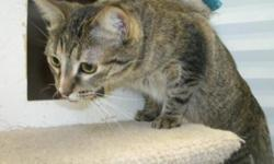 Breed: Tabby - Grey   Age: Young   Sex: F   Size: M My name is Misty, I am a short haired grey tabby, I am a little girl maybe 9-10 months old. When I first came I had a really bad attitude but I found out it is much easier to be nice than naughty.....